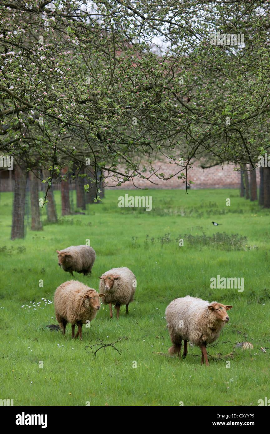 Ardense Voskop sheep (Ovis aries) grazing in orchard, Belgium - Stock Image