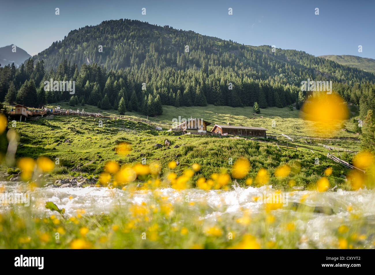 Buttercups (Ranunculus) in front of a mountain stream, mountain guesthouse at back, Grawa Alm, mountain pasture, - Stock Image