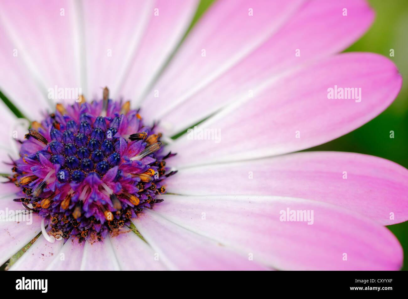 Cape marguerite, Van Staden's River daisy, Sundays River daisy, White daisy bush, Blue-and-white daisy bush, - Stock Image