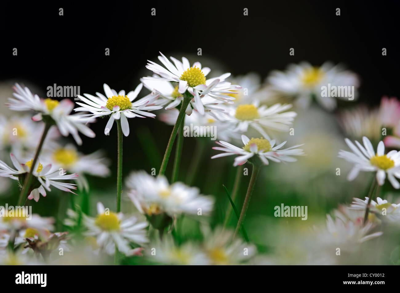 Daisies (Bellis perennis), North Rhine-Westphalia Stock Photo