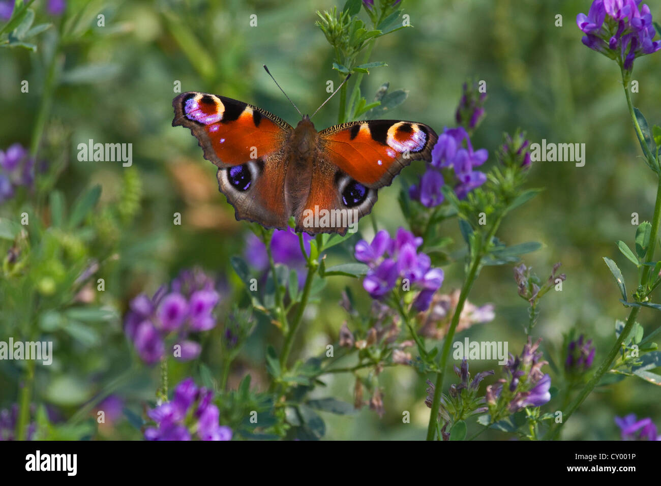 European Peacock butterfly (Aglais io / Inachis io) on wildflowers in meadow - Stock Image