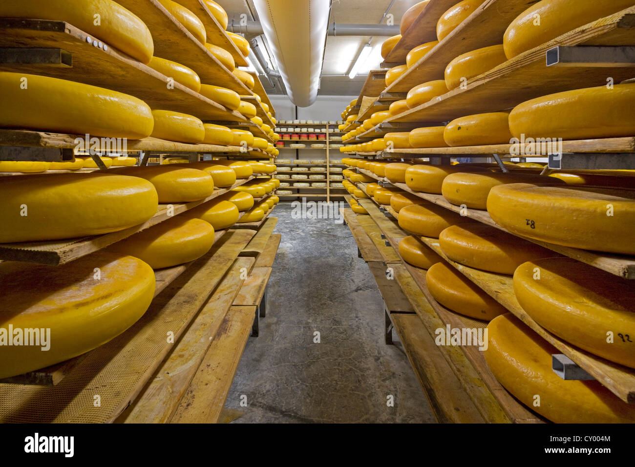 Regional artisan wheel cheeses aging on shelves in cheese dairy, Belgium - Stock Image
