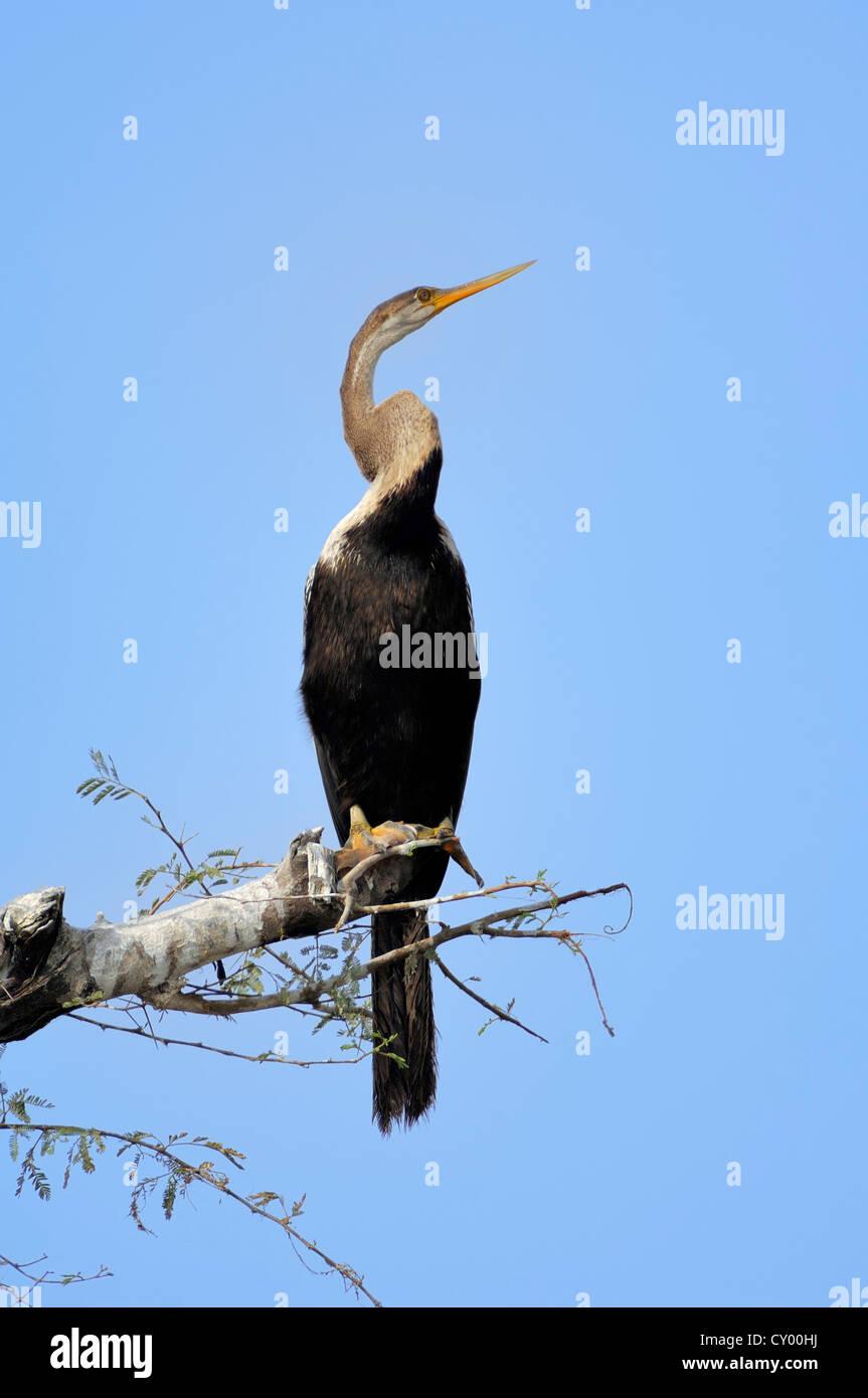 Oriental Darter or Indian Darter or Snakebird (Anhinga melanogaster ), Keoladeo Ghana National Park, Rajasthan, - Stock Image