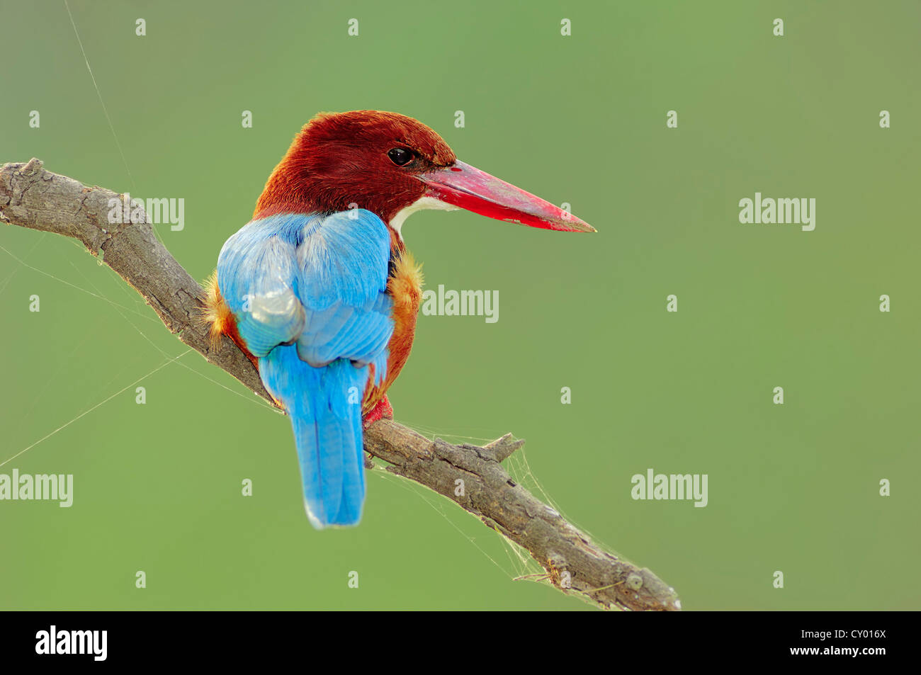 White-throated or White-breasted Kingfisher or Smyrna Kingfisher (Halcyon smyrnensis), Keoladeo Ghana National Park, - Stock Image