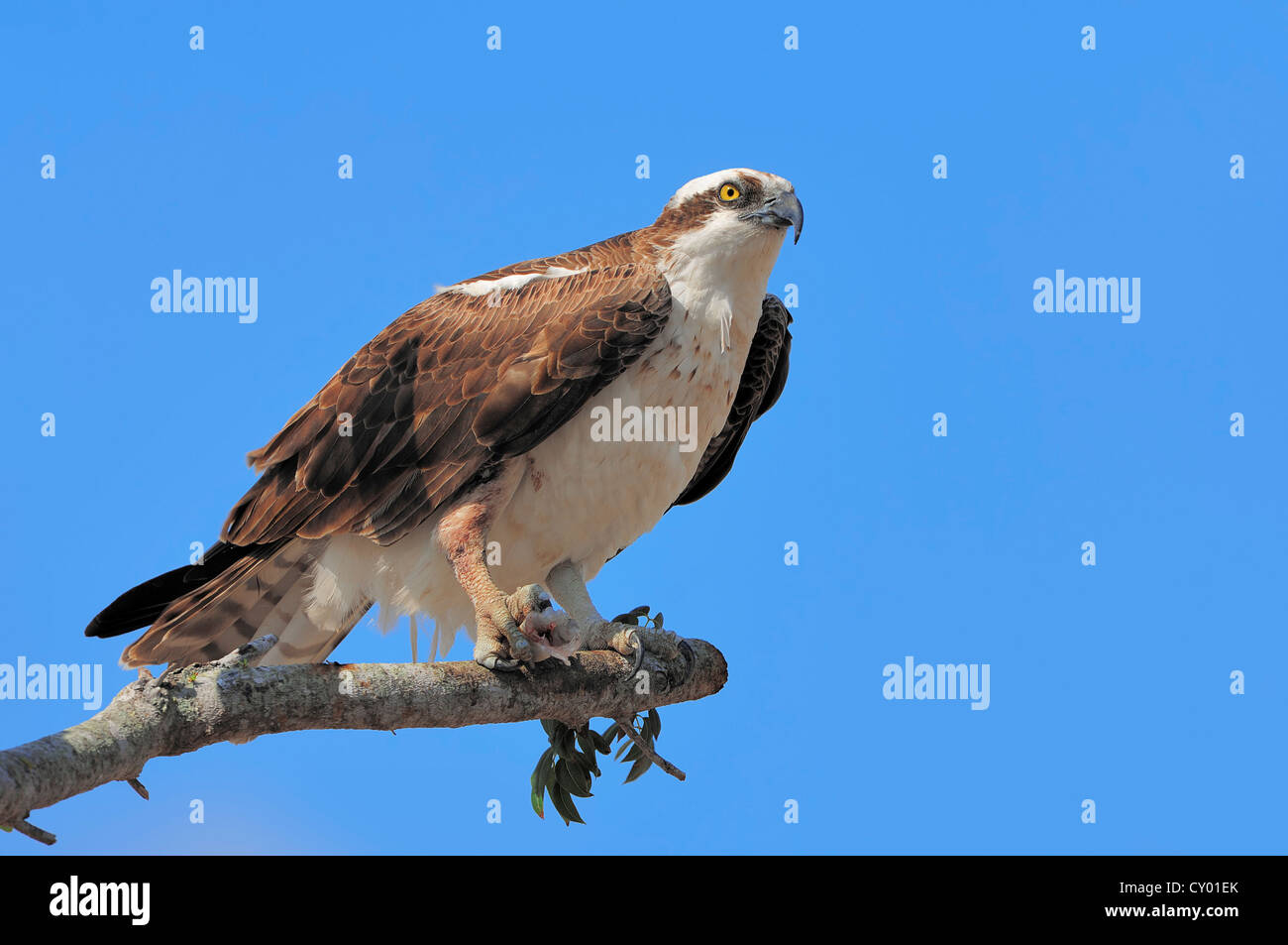 Osprey (Pandion haliaetus), with fish in its talons on perch, Everglades National Park, Florida, USA - Stock Image