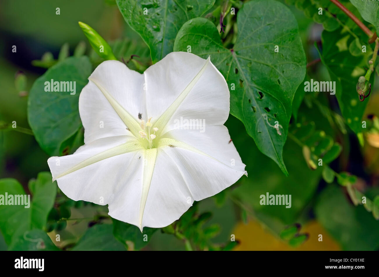 Species of morning glory stock photos species of morning glory moonflower or tropical white morning glory ipomoea alba sanibel island florida mightylinksfo Images