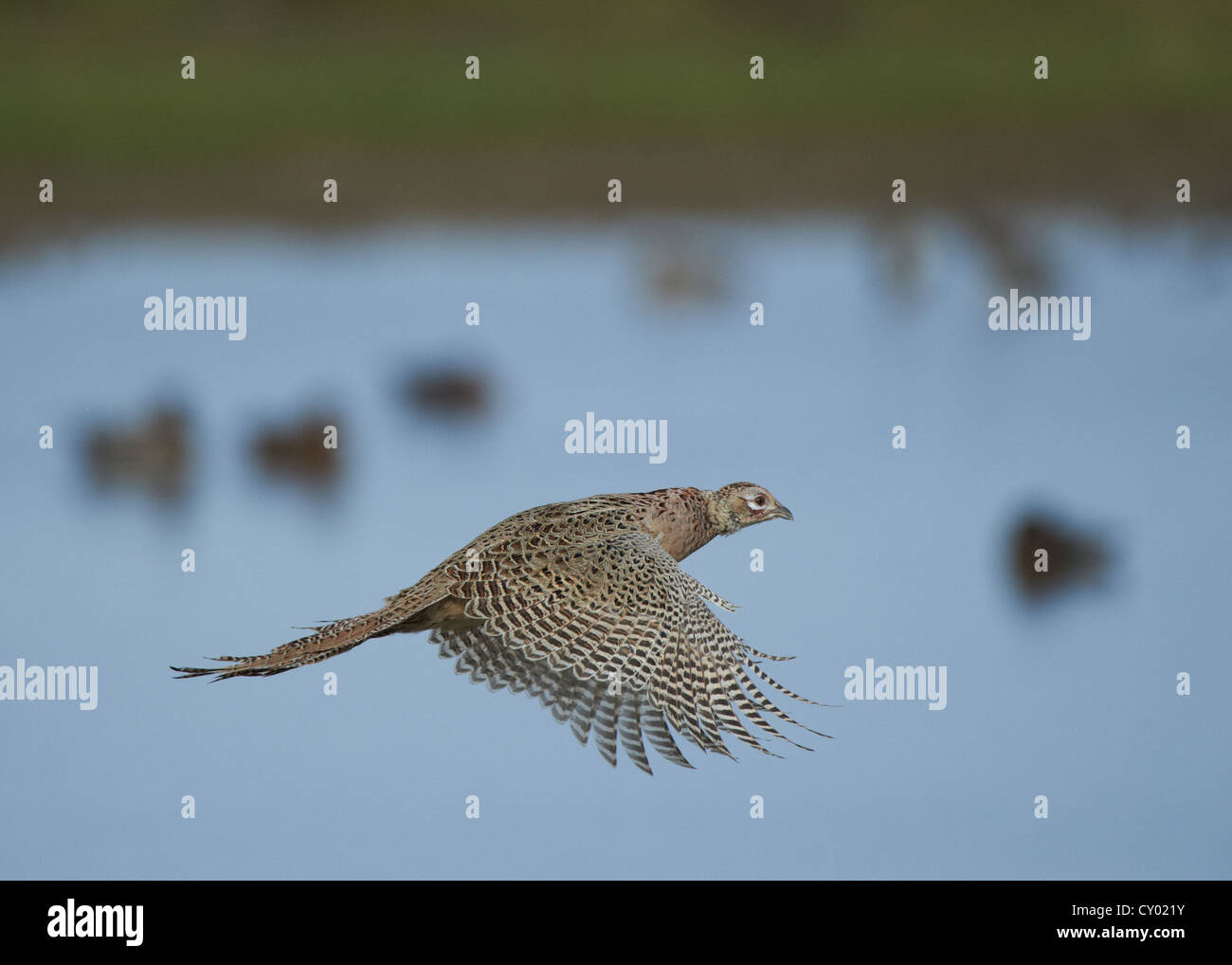 Flying Pheasant Stock Photos & Flying Pheasant Stock Images - Alamy