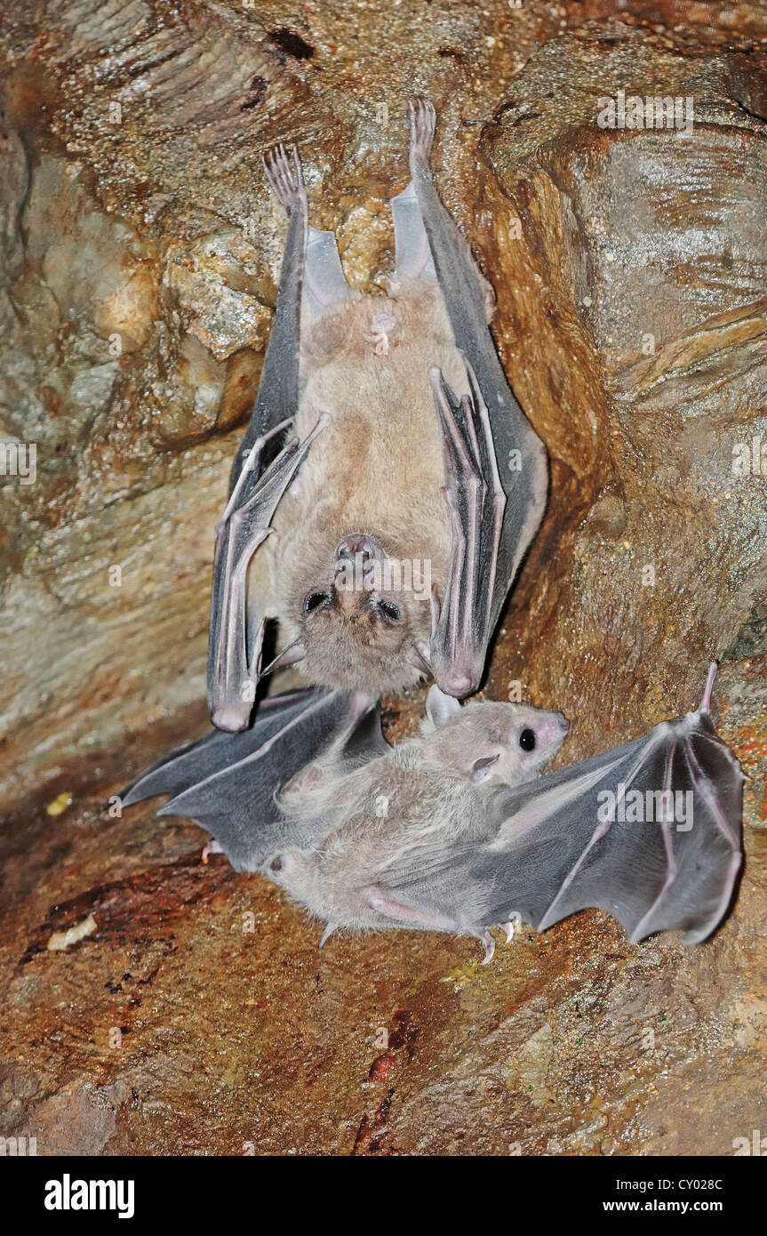 Egyptian Fruit Bat or Egyptian Rousette (Rousettus aegyptiacus) with juvenile, native to Africa and the Arabian Stock Photo