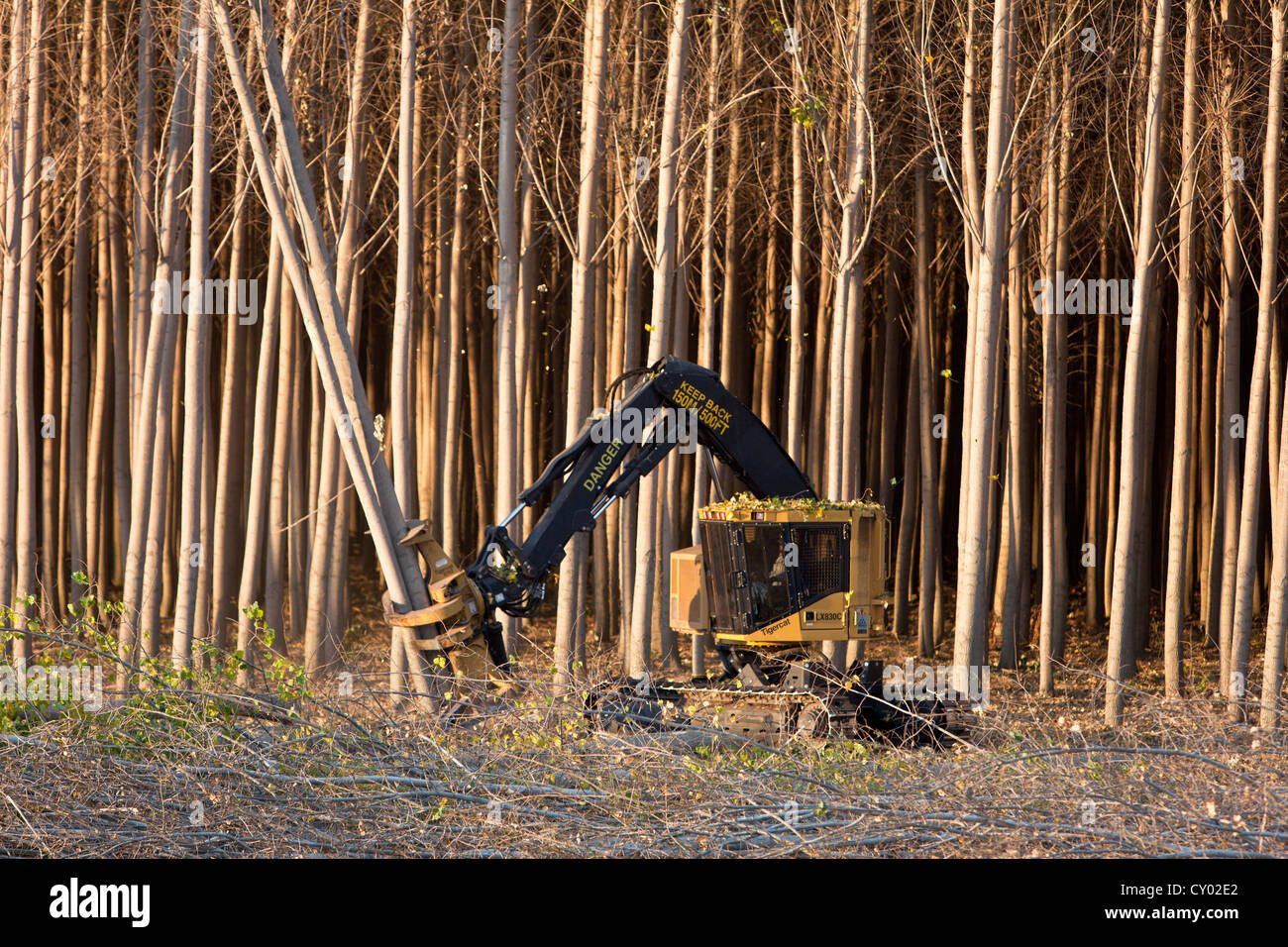 Tigercat Feller Buncher harvesting Hybrid Poplar trees. - Stock Image