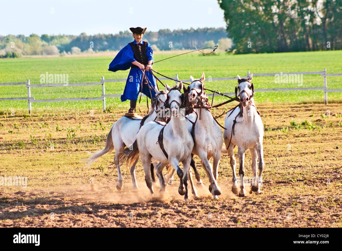 Hungary, Kalocsa, Csikos Hungarian horse rider, riding his team while standing - Stock Image