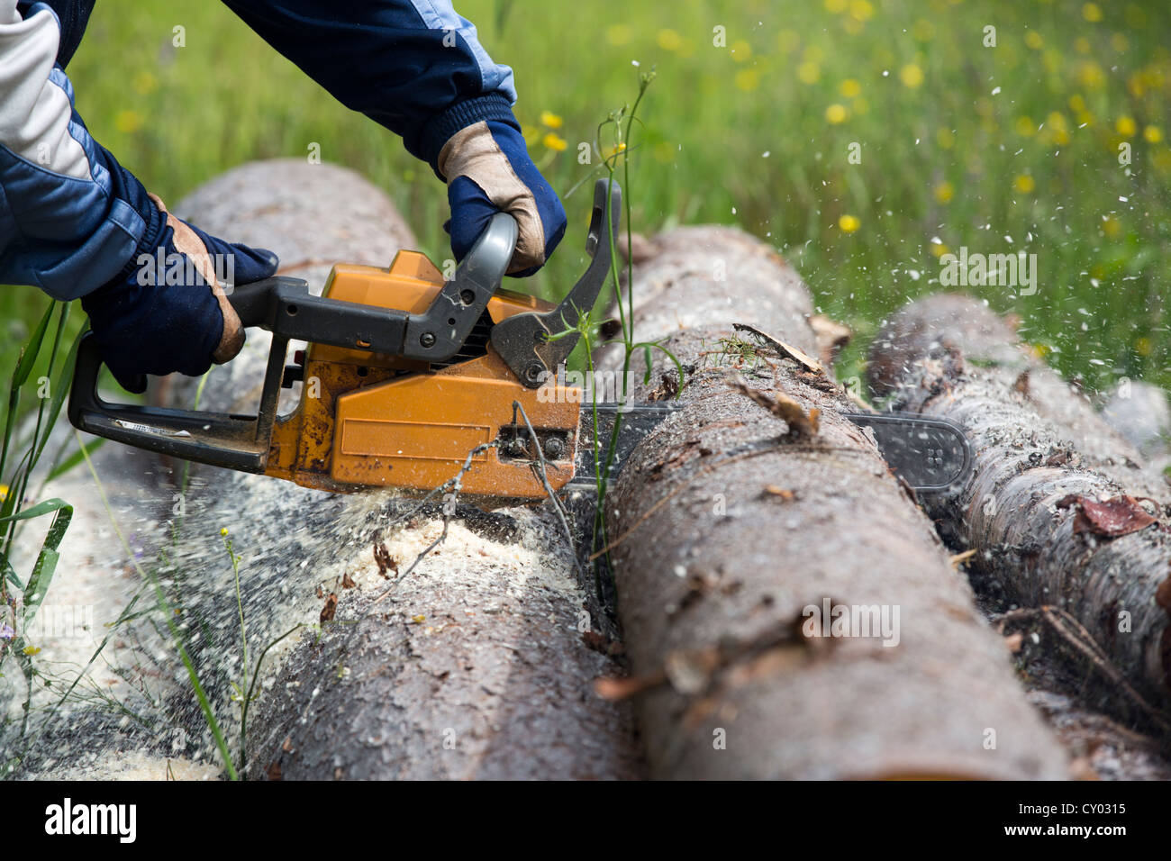 Elderly man cutting a spruce log with chainsaw , Finland Stock Photo