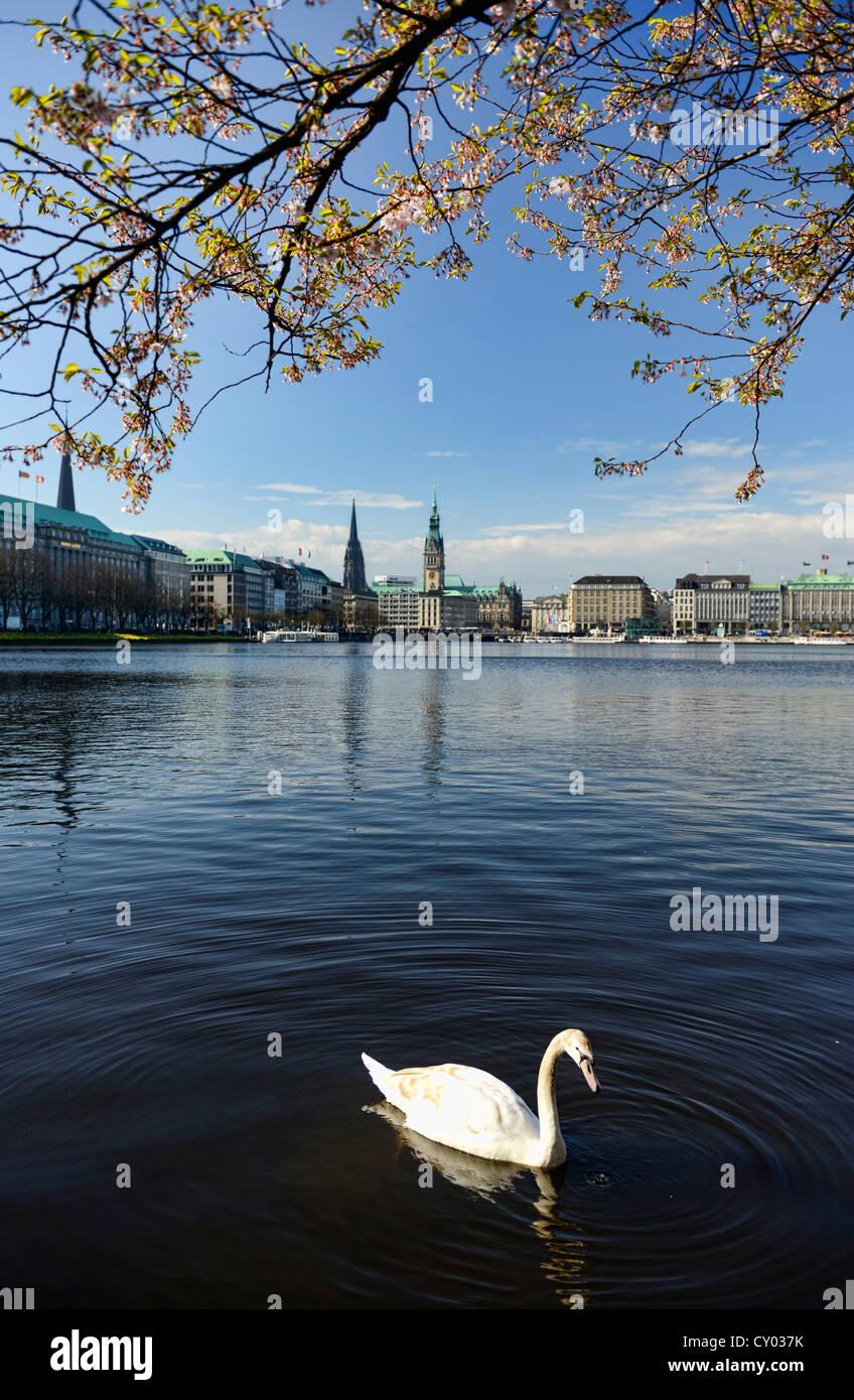 Mute swan in spring, Inner Alster Lake, or lake Binnenalster, Hamburg - Stock Image