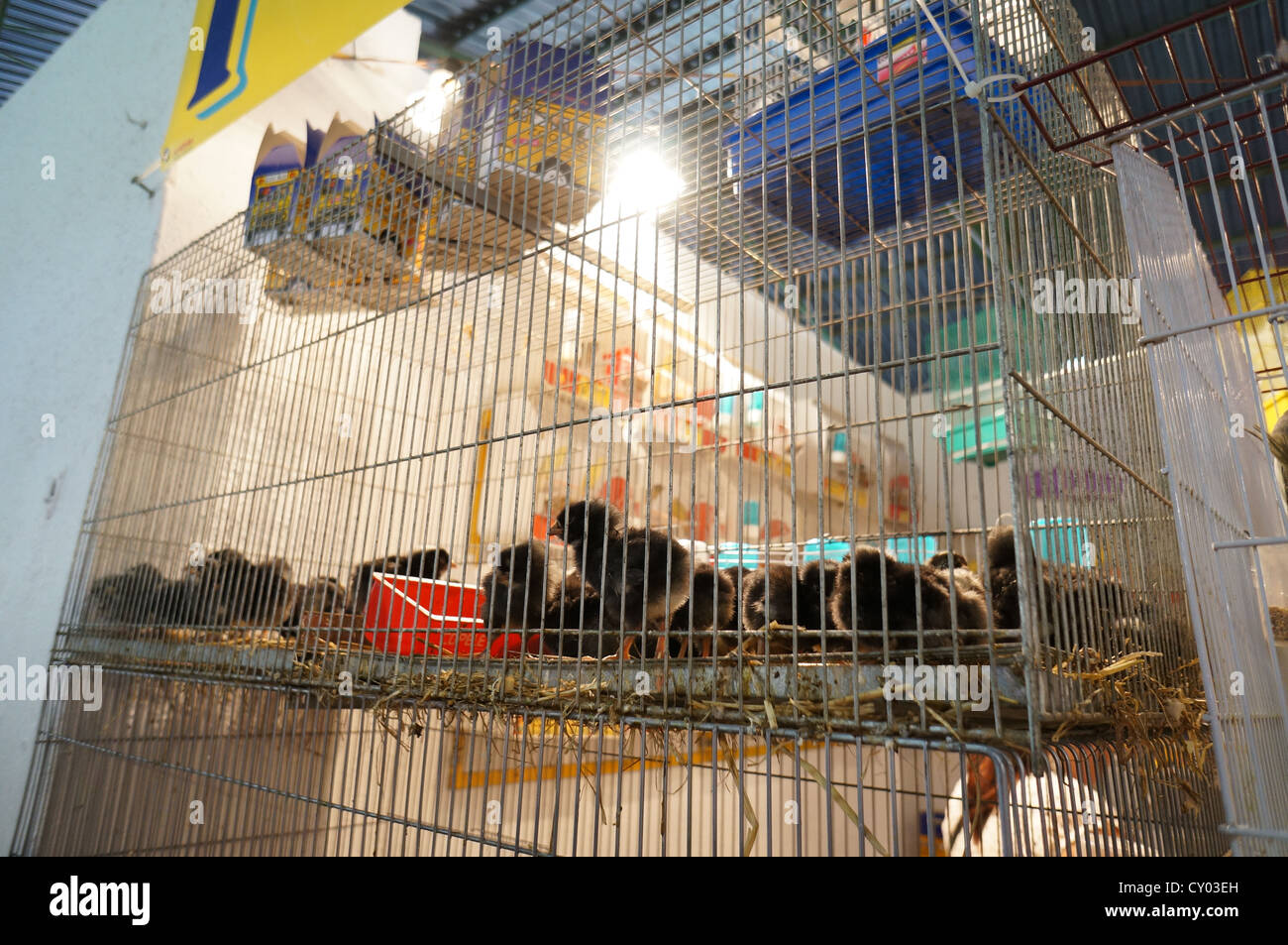 Group of young chickens in Fair at International livestock fair at Zafra, Badajoz, Spain - Stock Image