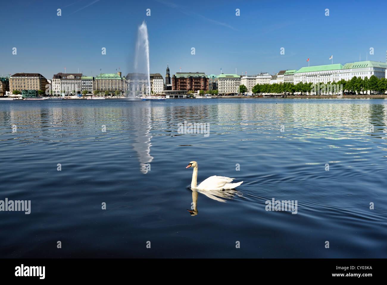 Mute Swan (Cygnus olor) on Lake Binnenalster, Inner Alster Lake, Hamburg Stock Photo