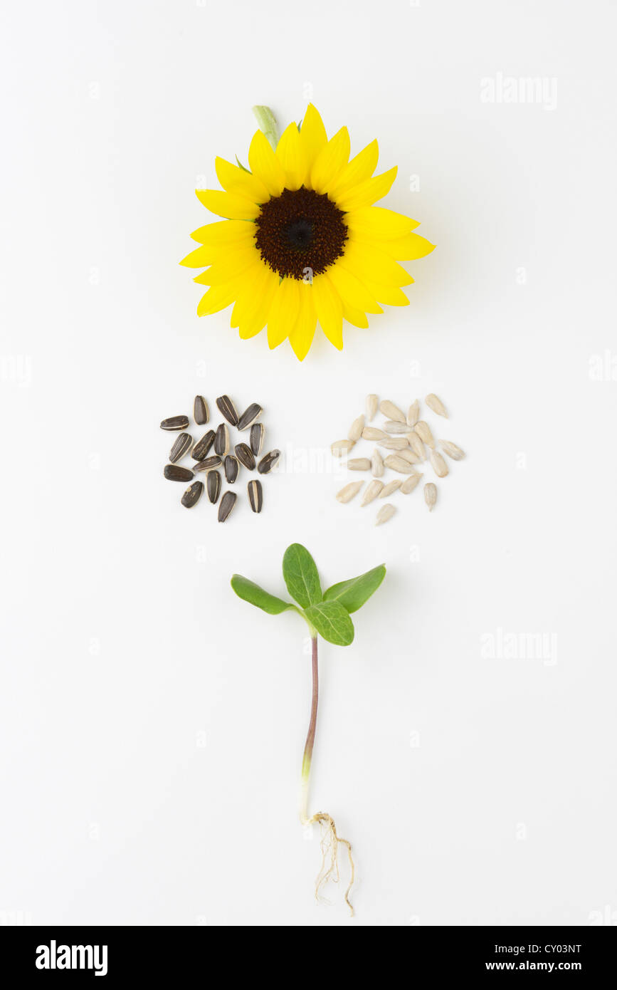 Sunflower, helianthus annuus, life cycle with seedling, seeds (with black seed coat and without), and flower. - Stock Image