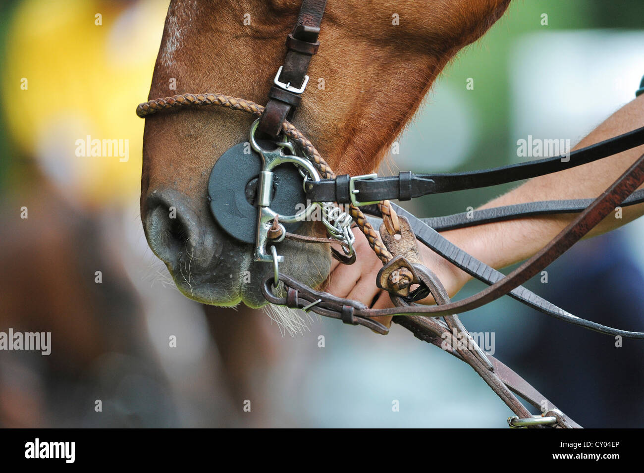 One hand holding the bridle of a polo pony - Stock Image
