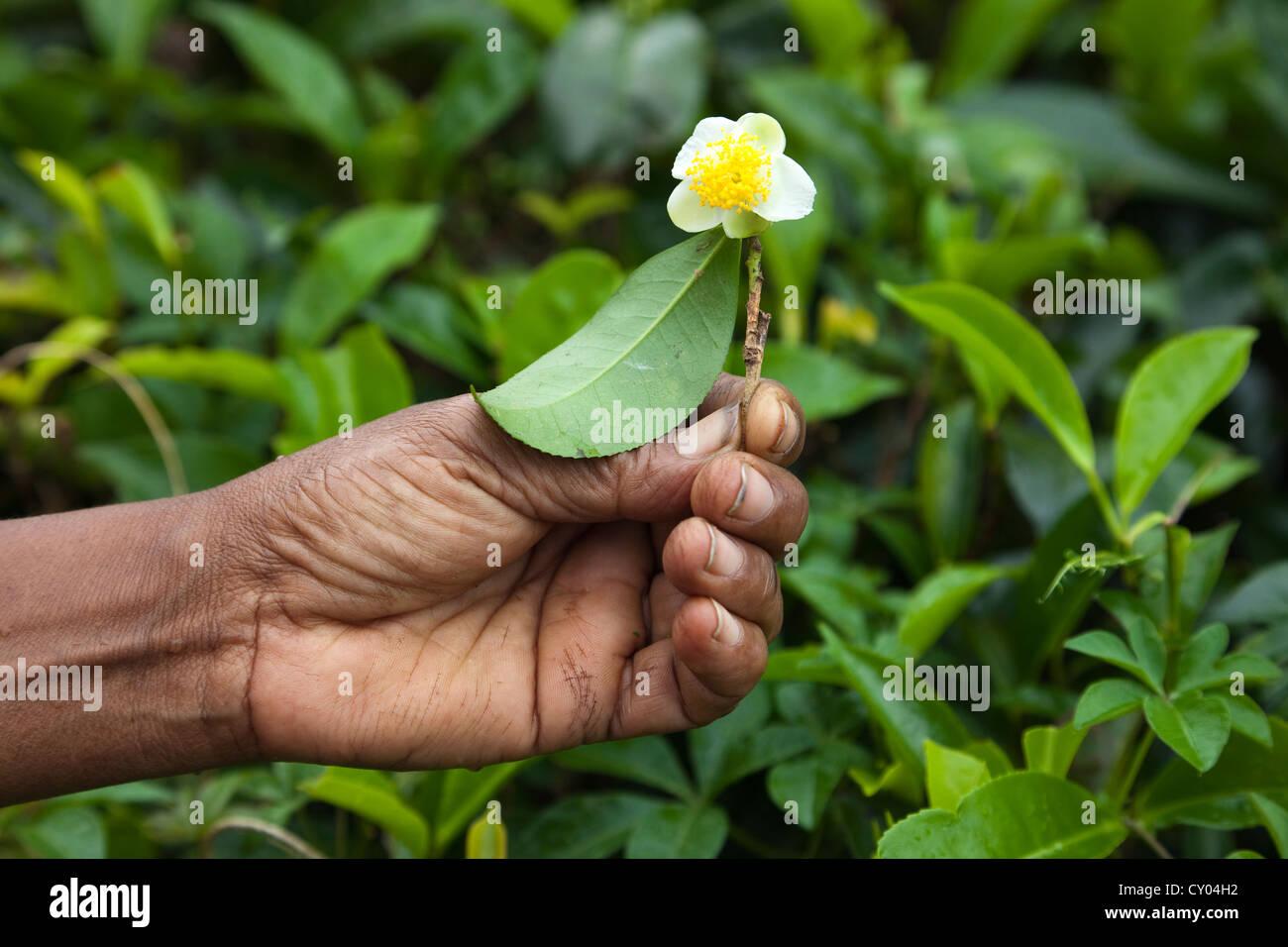 Woman's hand holding a flower from a tea bush, Sri Lanka Stock Photo