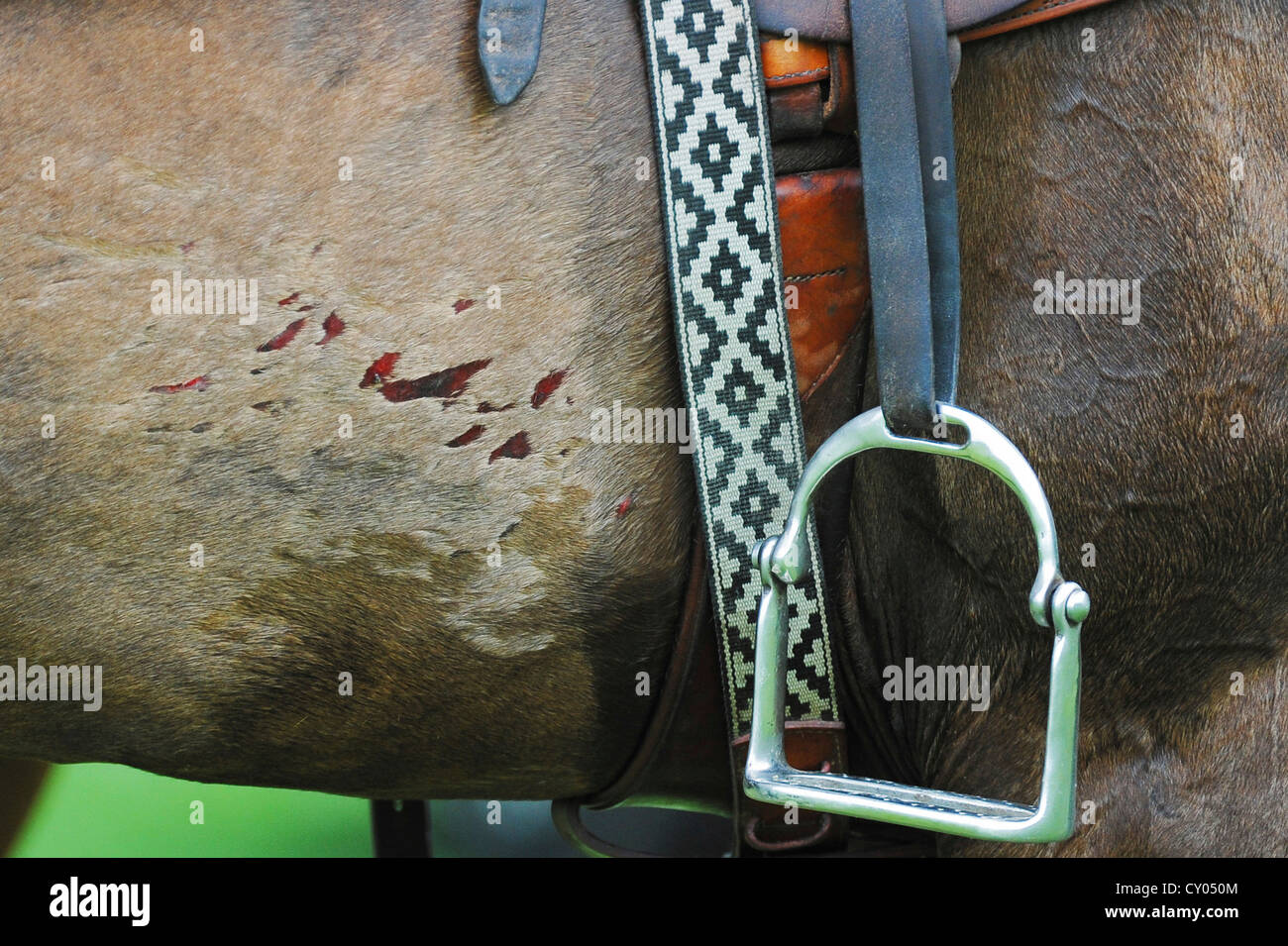 A polo pony's injuries caused by spurs, Ebreichsdorf, Lower Austria, Austria, Europe - Stock Image
