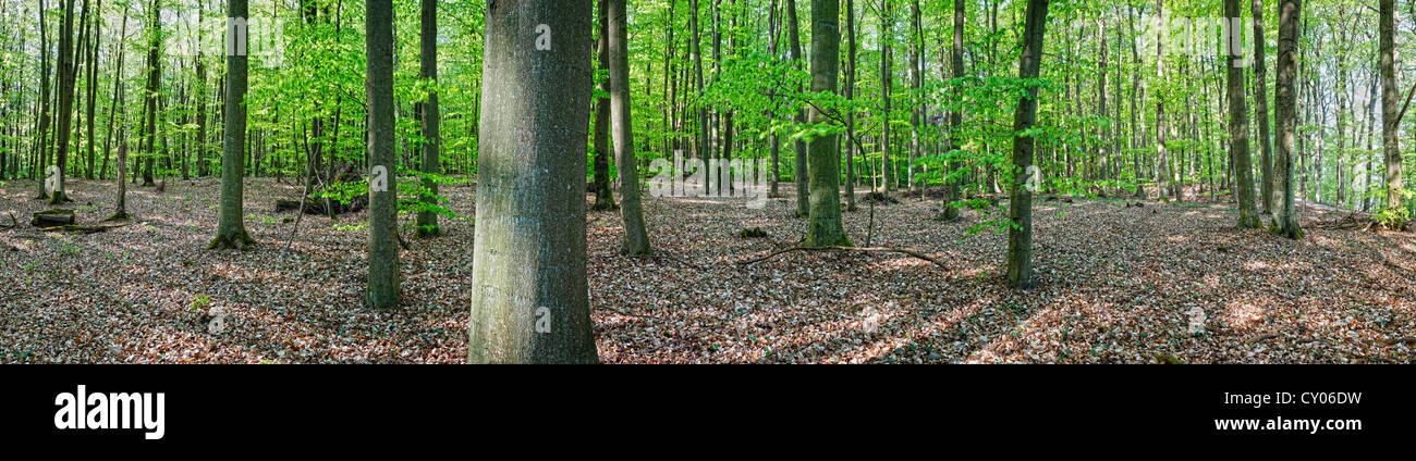 180° panoramic view of a beech tree forest in spring, near Templin, Brandenburg - Stock Image