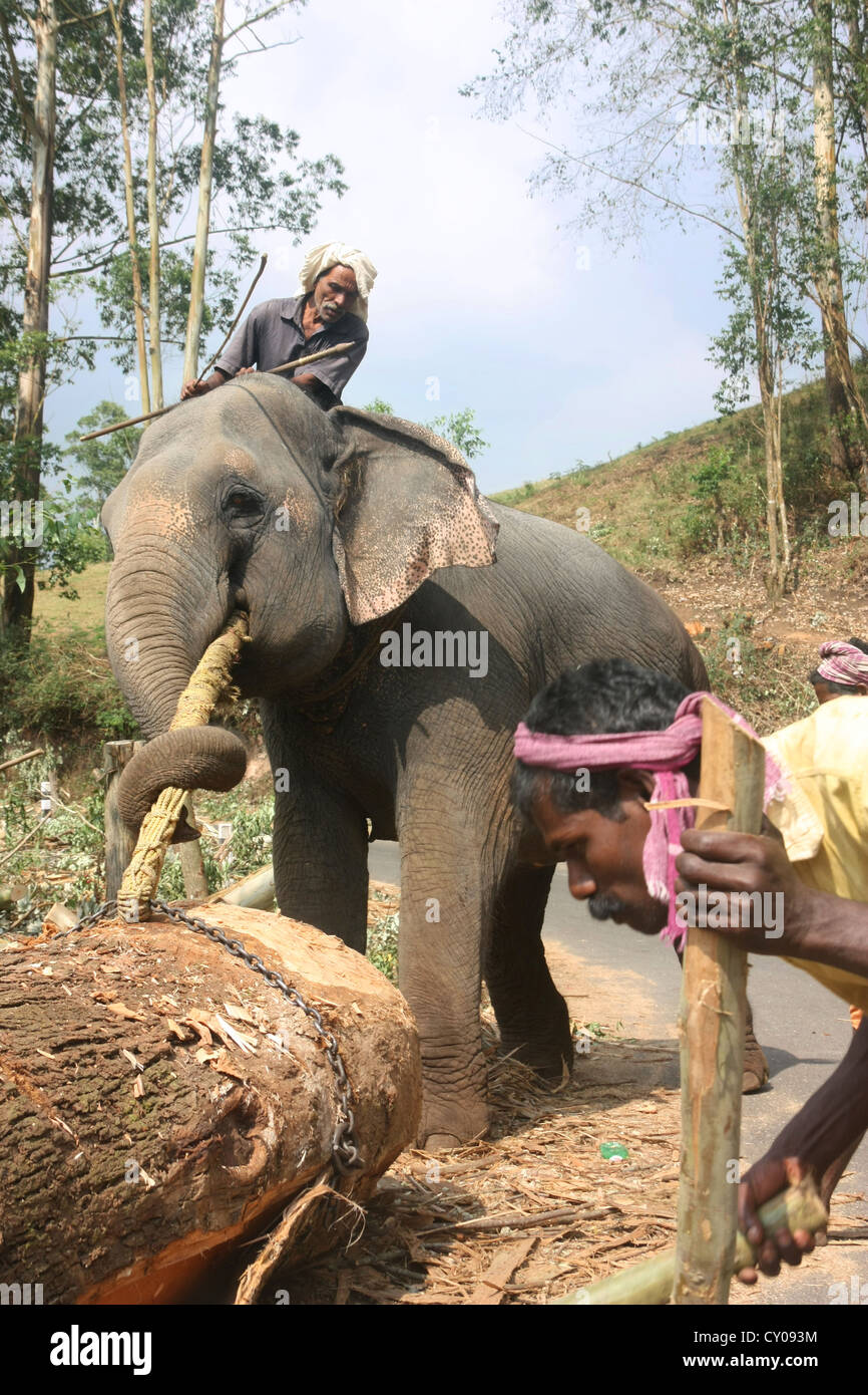 Indian mahout and working elephant engaged in logging in the Idukki district of the Indian state of Kerala. - Stock Image