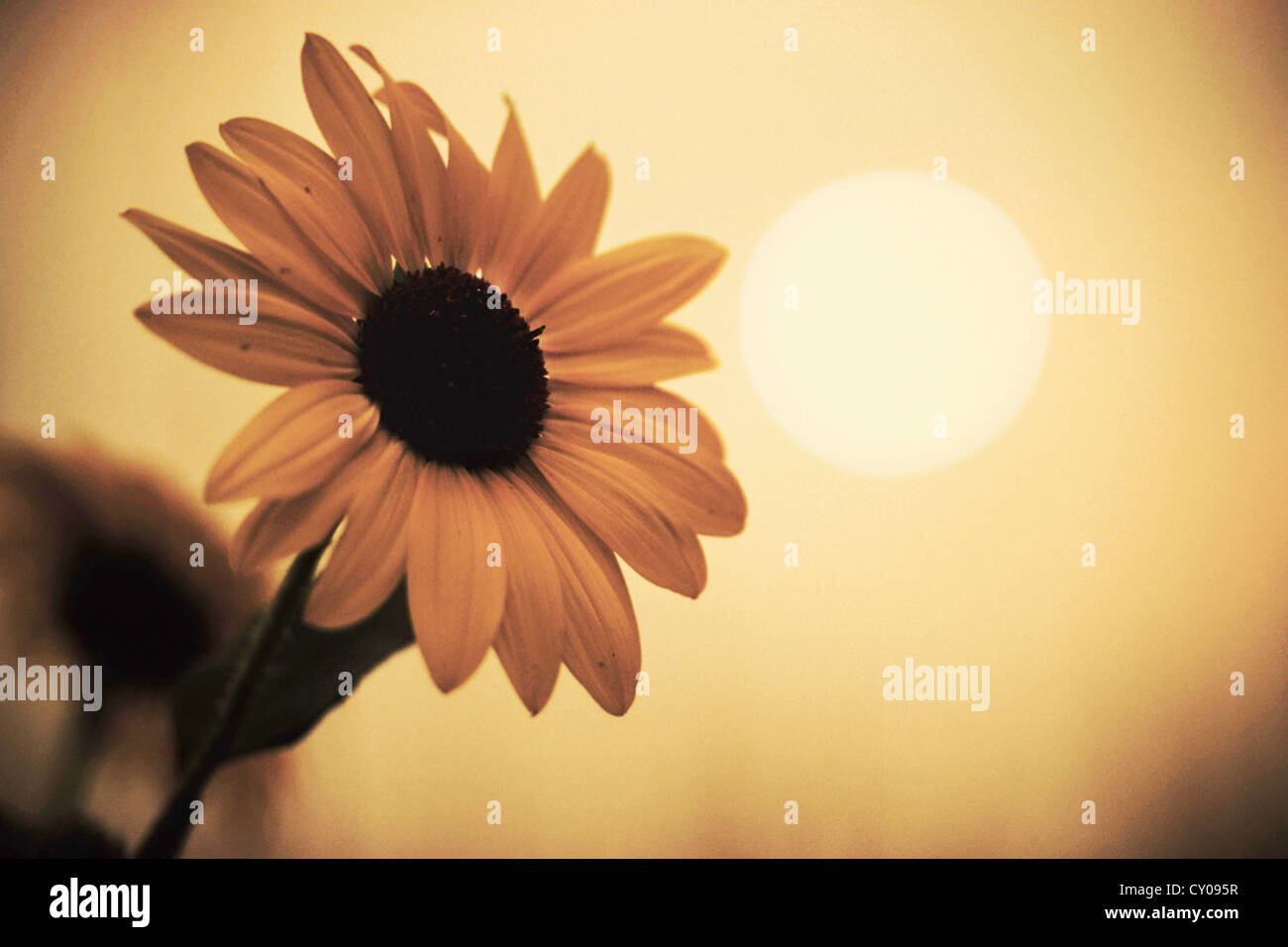 Flower with sun - Stock Image