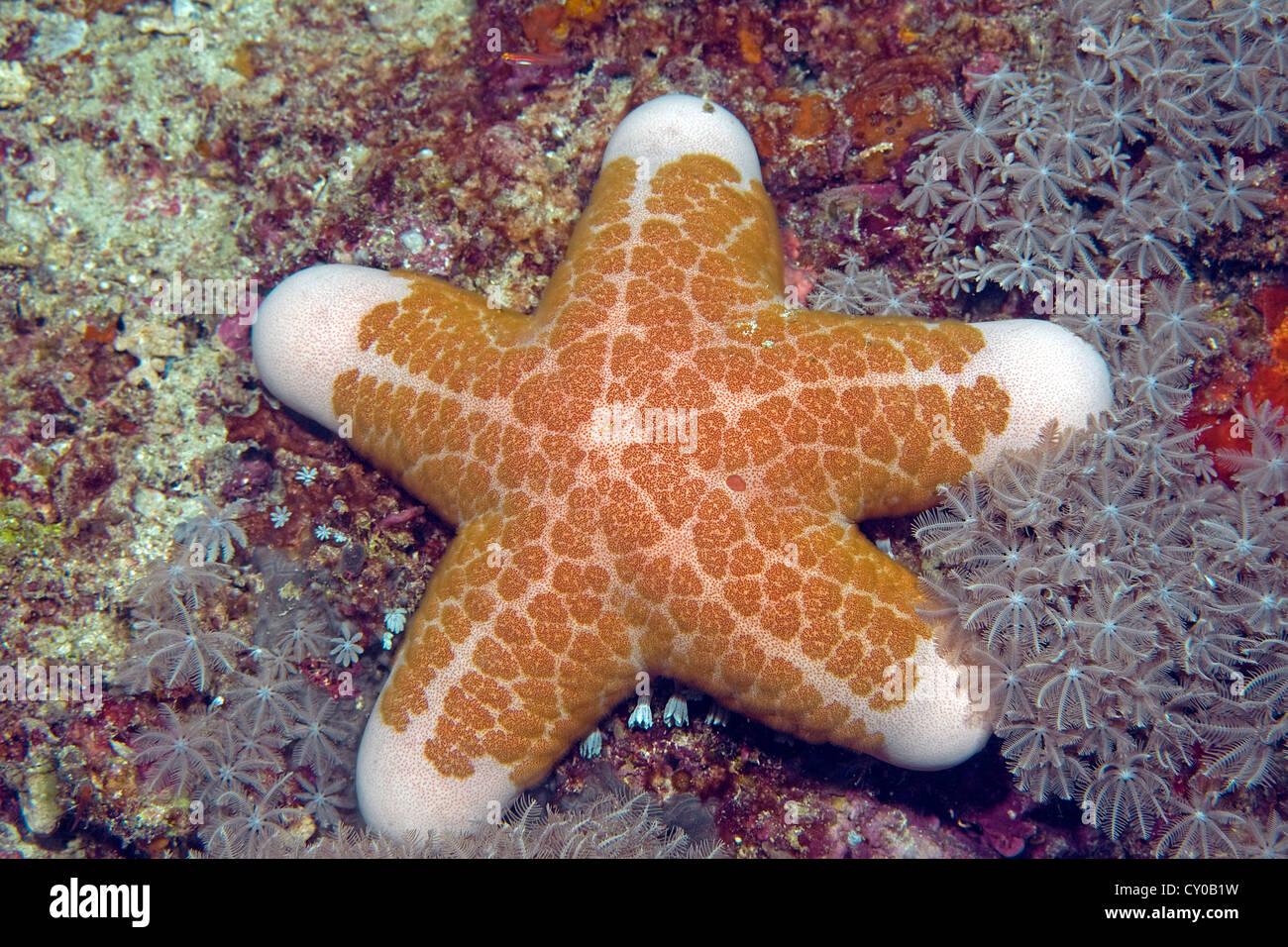 Granulated sea star, cushion seastar (Choriaster granulatus), Moalboal, province of Cebu, Negros, Philippines, Asia - Stock Image