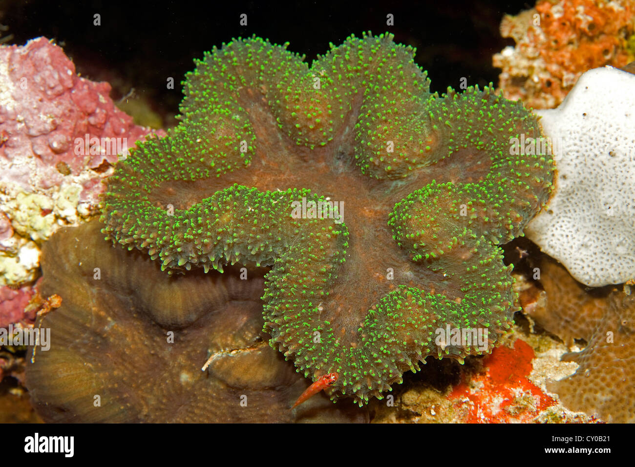 Flat brain coral (Lobophyllia sp.), Moalboal, province of Cebu, Negros, Philippines, Asia, Indo-Pacific Ocean - Stock Image