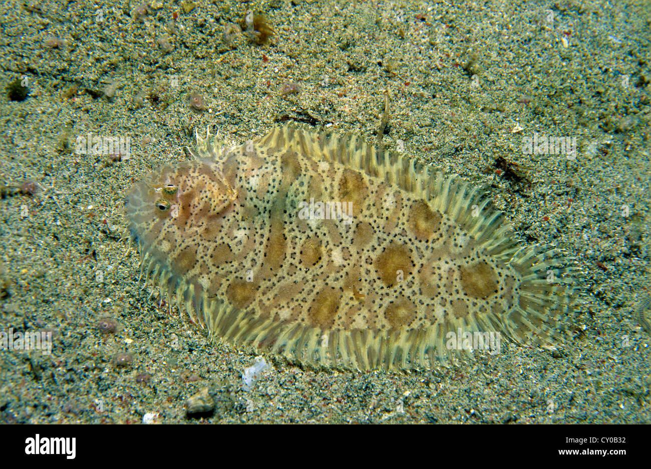 Carpet sole (Liachirus melanospilos), Sabang, Puerto Galera, Oriental Mindoro province, Philippines, Asia - Stock Image