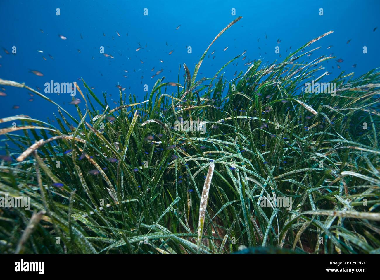 Seagrass (Posidonia), Sa Dragonera Nature Reserve, San Telmo, Sant Elm, Majorca, Mallorca, Balearic Islands, Spain, - Stock Image