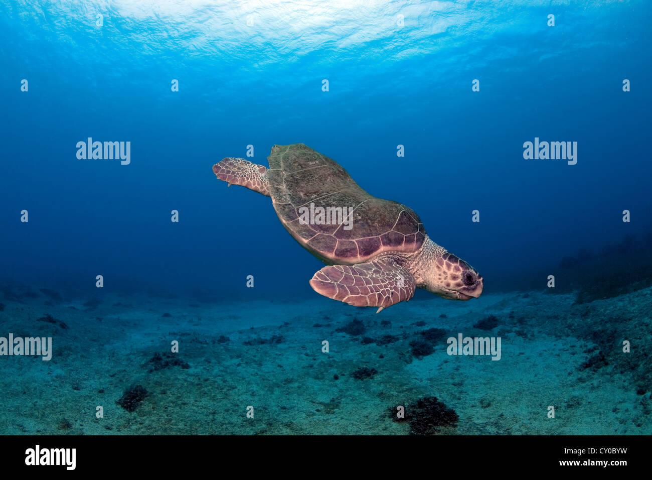 Loggerhead Turtle (Caretta caretta), Kas, Lycia, Turkey, Mediterranean Stock Photo