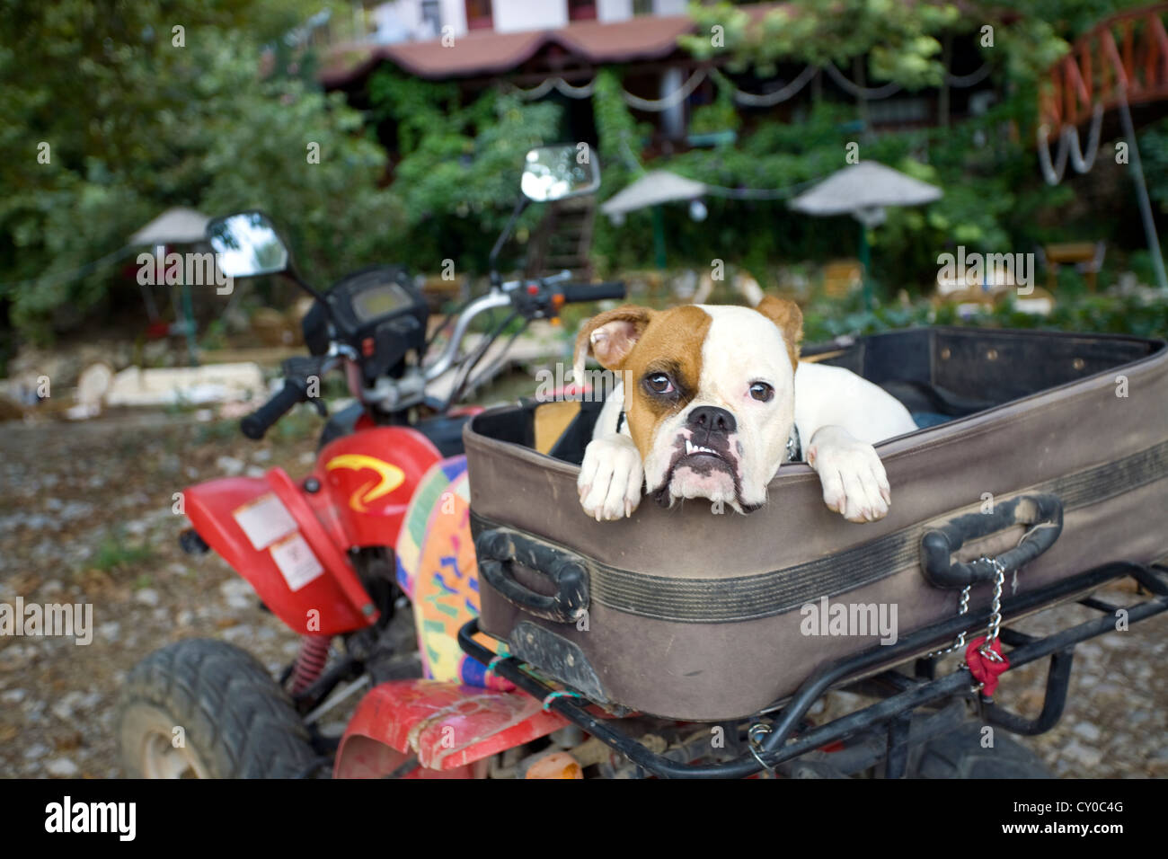 Boxer mixed-breed dog in a suitcase on Quad, Adrasan, Turkey - Stock Image