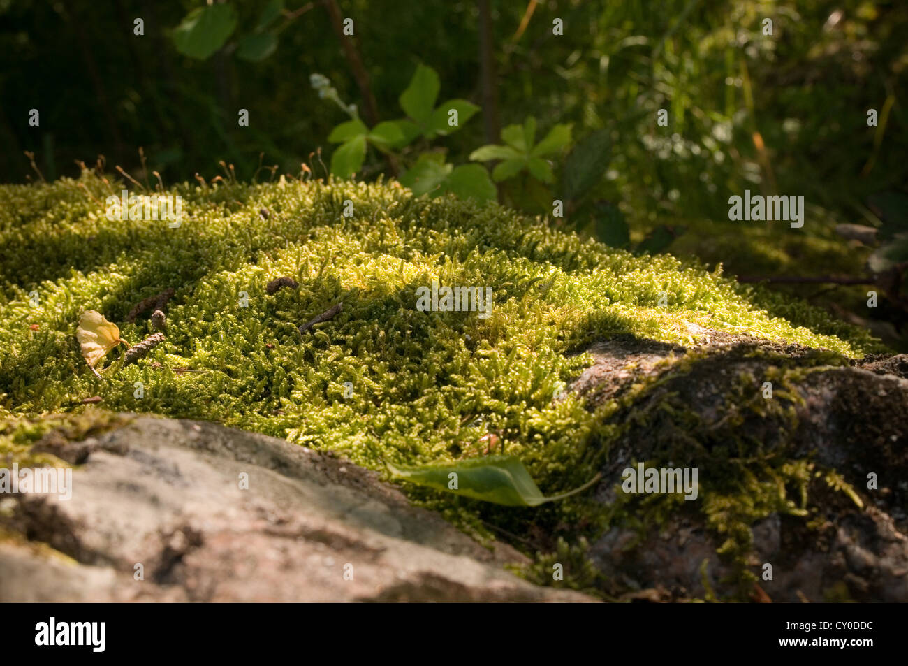moss growing on a rock rolling stone gathers no mosses forest floor - Stock Image