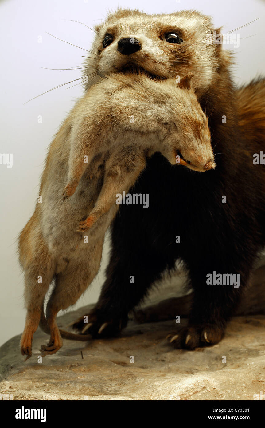 European Polecat (Mustela putorius) preying on a Rat (Rattus sp.), special exhibition at the Museum of Industry Stock Photo