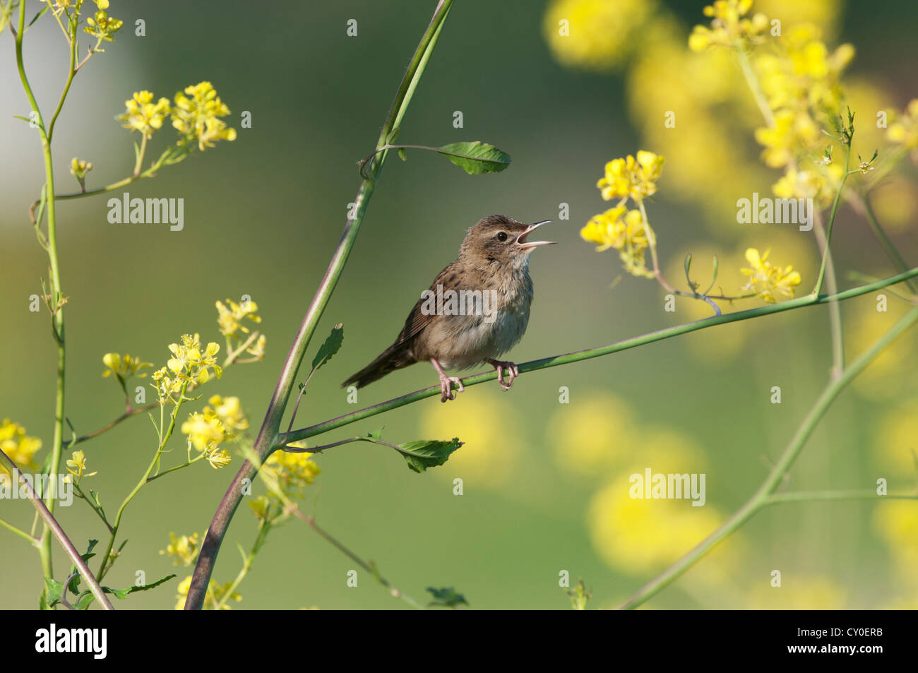 Grasshopper Warbler Locustella naevia in song Norfolk May Stock Photo