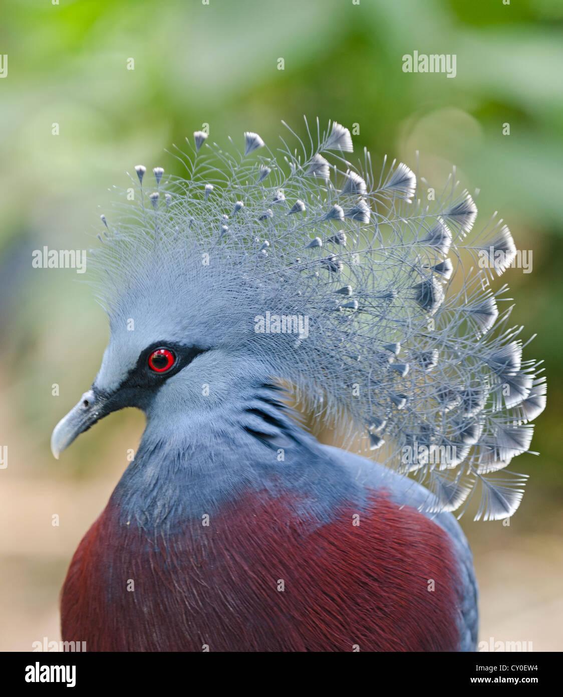 Victoria Crowned Pigeon, Goura victoria New Guinea Stock Photo