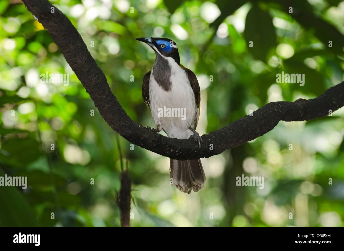 Blue-faced Honeyeater (Entomyzon cyanotis), New Guinea and Australia - Stock Image