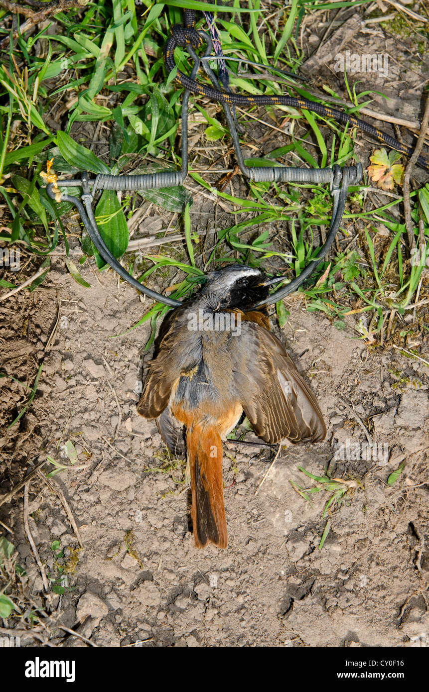 Redstart Phoenicurus phoenicurus migrant male caught in spring / clap trap (also known as sep trap) Ponza Italy - Stock Image