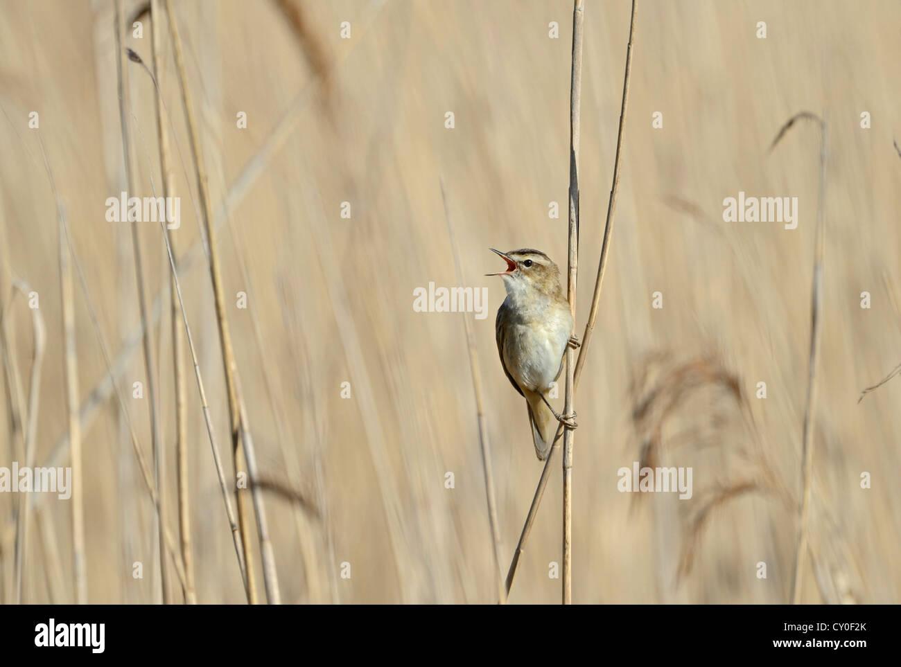 Sedge Warbler Acrocephalus schoenobaenus in song Cley Norfolk May Stock Photo