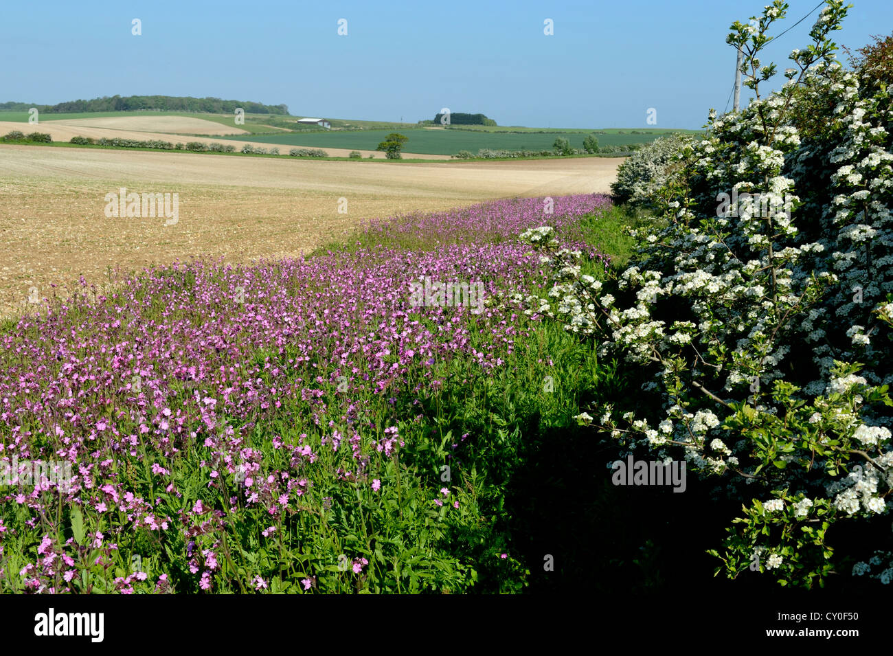 Wild flower margin planted with Red Campion along edge of arable field Norfolk May - Stock Image