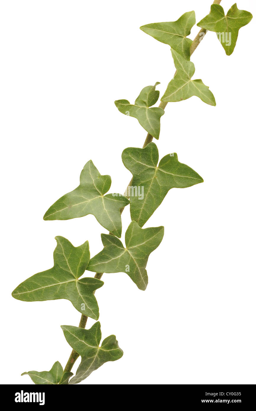 Ivy - Stock Image