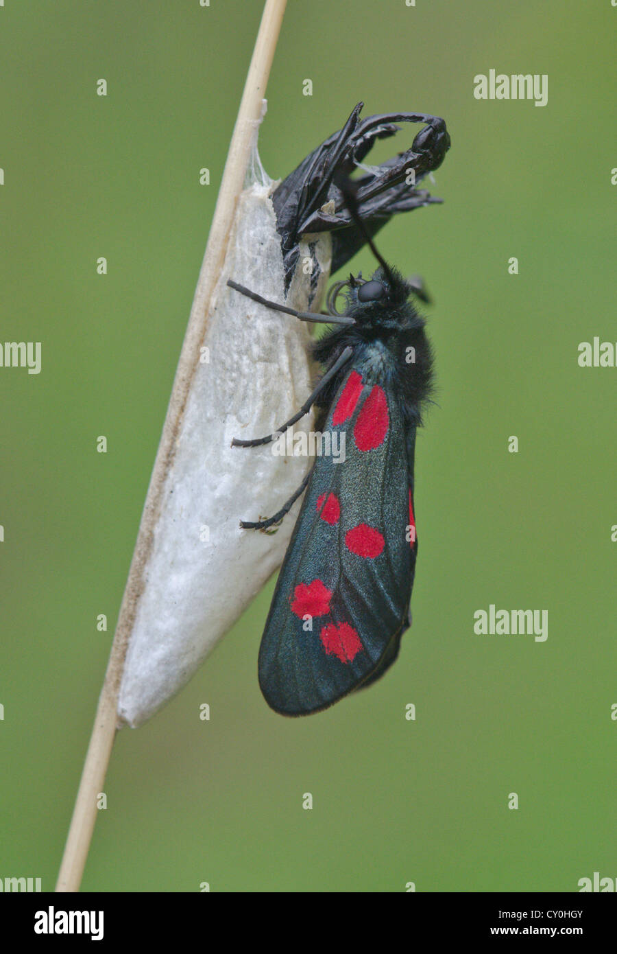 Newly Emerged Six-spot Burnet Moth with Cocoon and Pupal Case - Stock Image