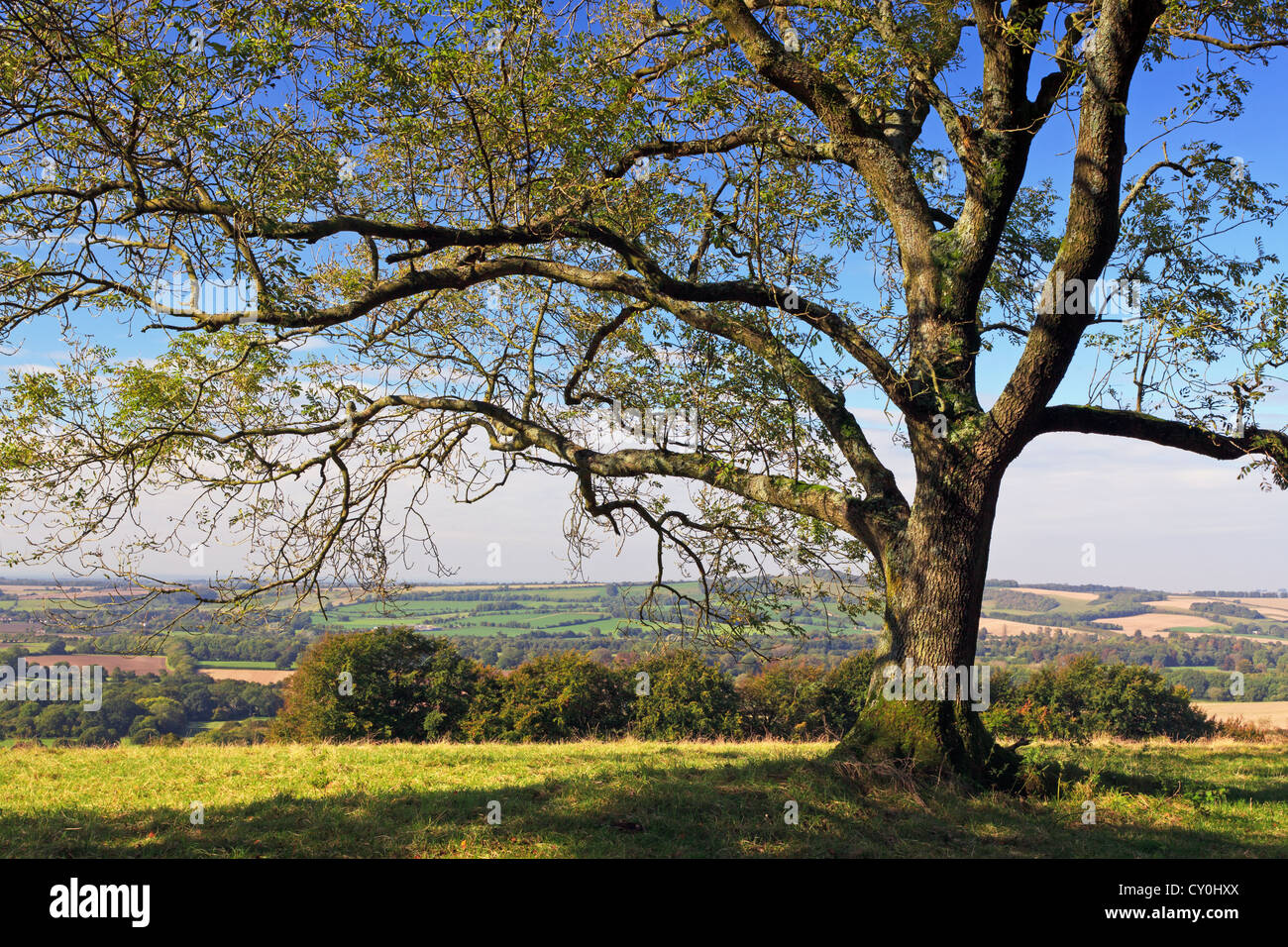 An Ash tree on Old Winchester Hill in Hampshire England with views across the rolling countryside of Meon valley - Stock Image