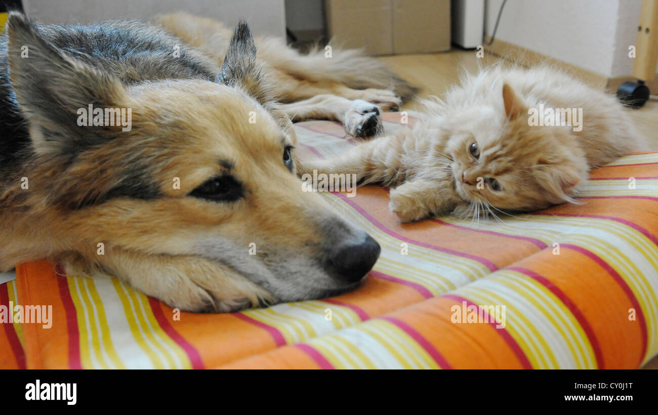 Collie-Schäferhundmischling mit Persermischling als Freunde - Stock Image