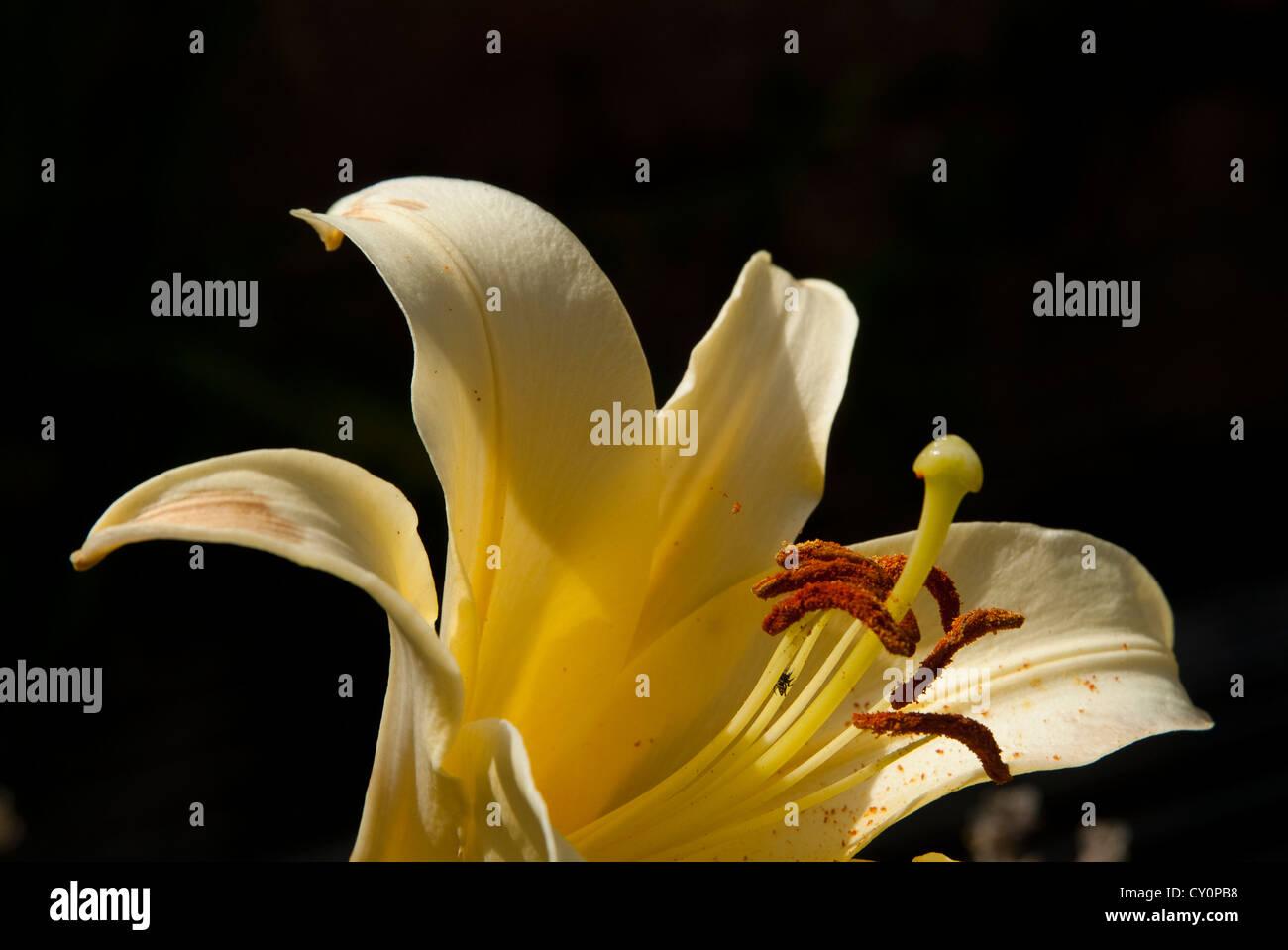 Gynoecium lily flower stock photos gynoecium lily flower stock detail of a yellow lily stock image izmirmasajfo