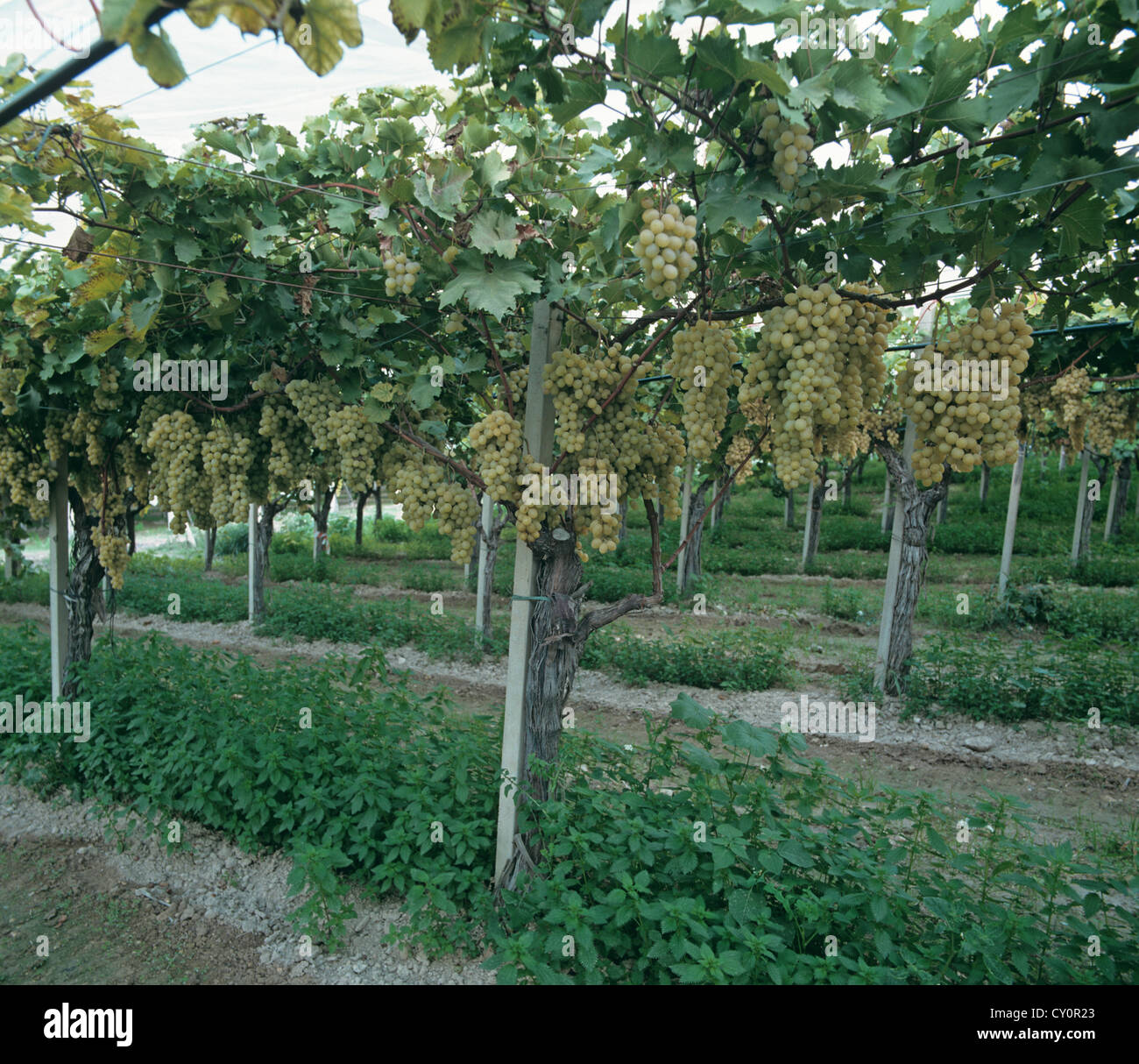 Table grapes trellised under polythene in Sicily - Stock Image