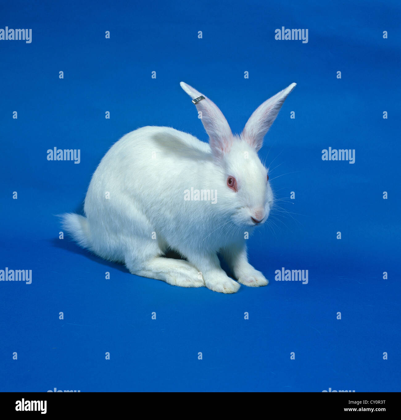 A White Laboratory Research Rabbit Breed New Zealand White