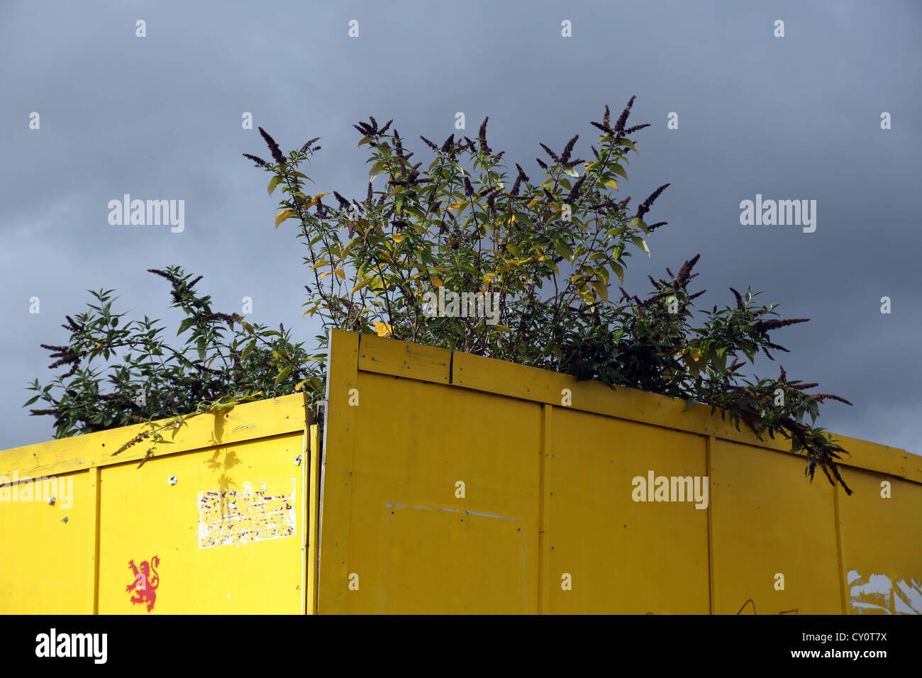 Buddleia Tree Behind Yellow Fence With Lion Rampant Stamped On Tolworth England - Stock Image
