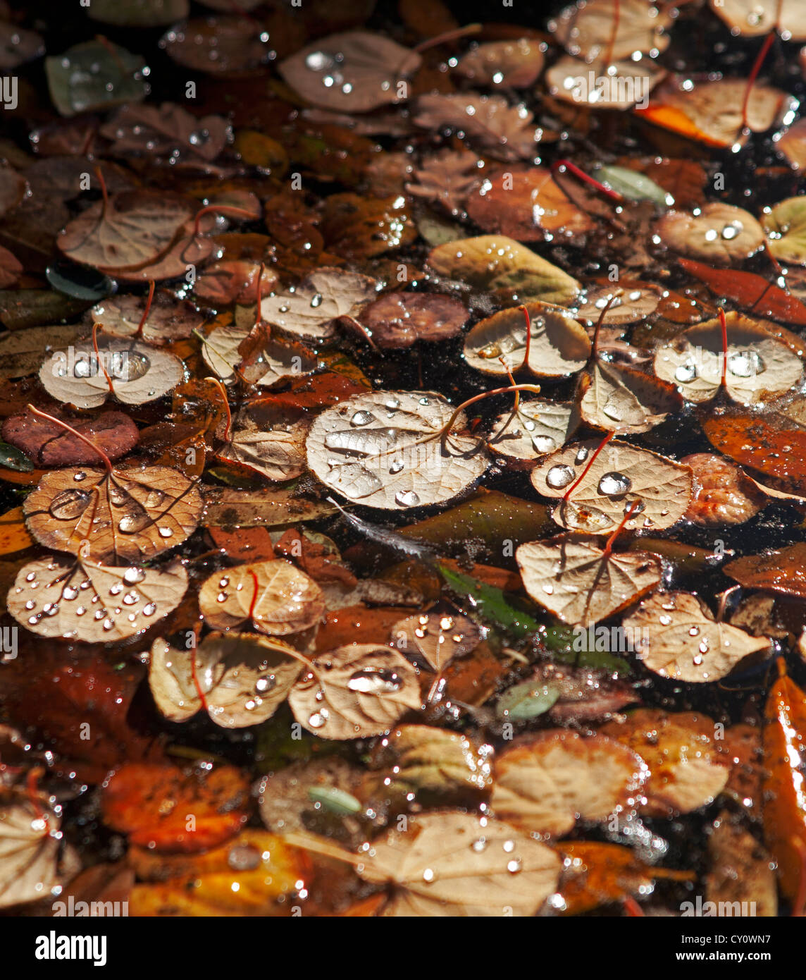 England, Cheshire, Dunham Massey, autumn leaves floating in a pond - Stock Image