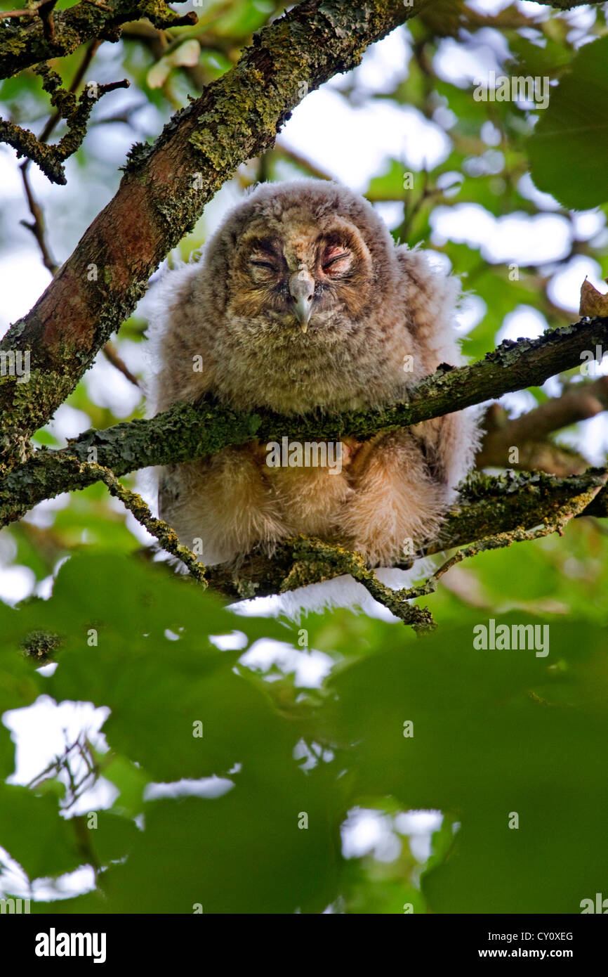 Long-eared owl (Asio otus / Strix otus) young with eyes closed perched in tree in forest - Stock Image