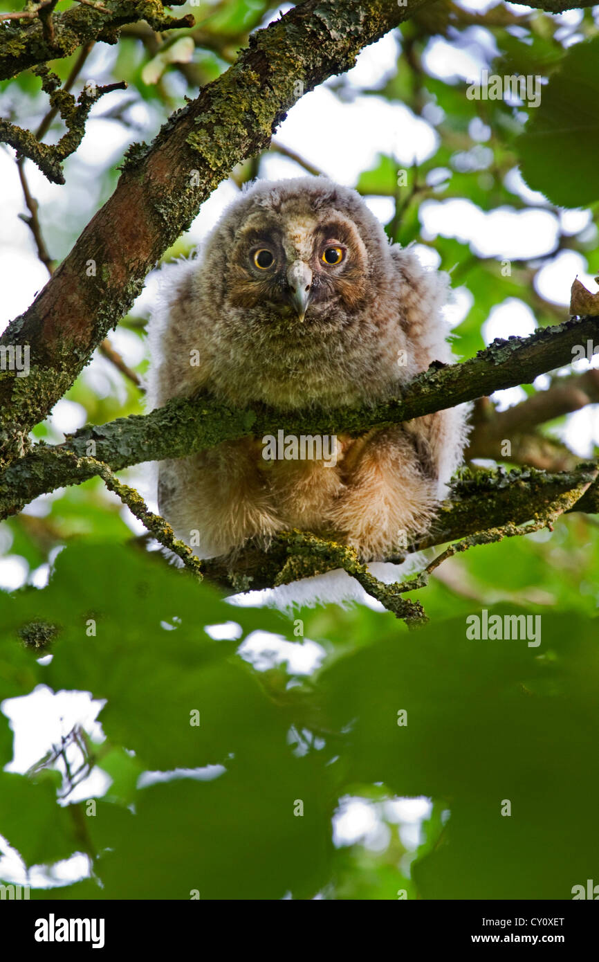 Long-eared owl (Asio otus / Strix otus) young with eyes open perched in tree in forest - Stock Image